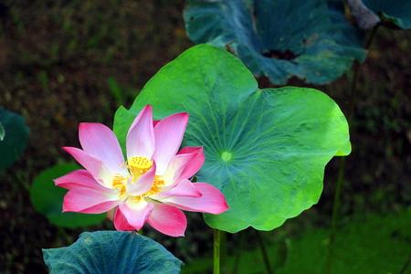 iluminados: Loto rosa con hoja de loto verde Foto de archivo