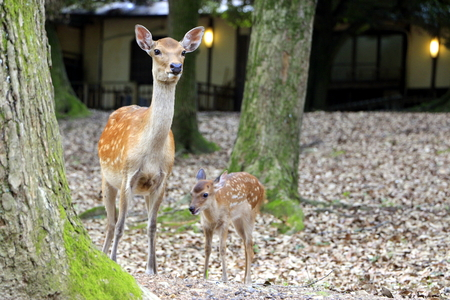 tourist spot: A female deer and her young at Nara deer park, Japan