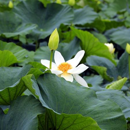 lirio blanco: Blanco lirio de agua en un estanque en Kamakura, Japón