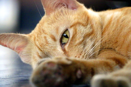 gazing: Ginger cat laying and gazing