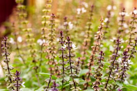thai basil: Thai basil flowers, soft focus