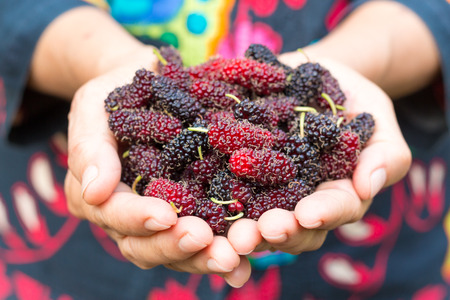Hands holding mulberry fruits
