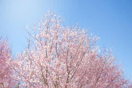 Pink and white wild Himalayan cherry blossoms (Prunus cerasoides) on their tree branches with blue sky background (soft focus)