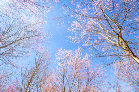 Cherry blossom (Prunus cerasoides) trees with pink flowers and branches on clear blue sky background