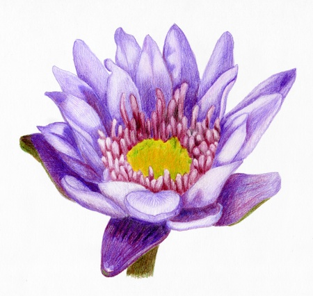 Bright pencilled lilac lotus flower photo