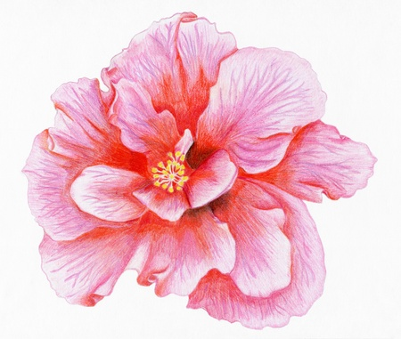 Pencilled flower of pink hibiscus photo