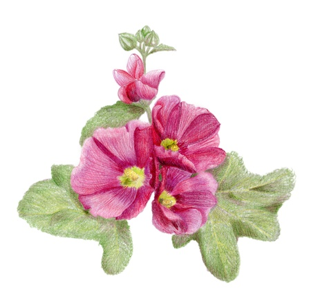 Pencilled hollyhock flowers with leaves