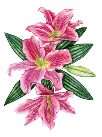 hand colored: Penciled pink lily flowers with leaves