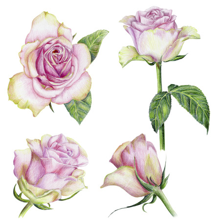 Beautiful pencilled set of pink roses with leaves