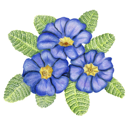 primula: Beautiful pencilled bunch of blue primulas with leaves Stock Photo