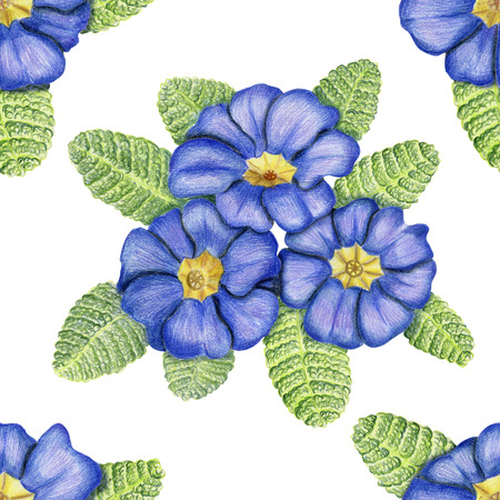 primula: Beautiful penciled pattern with primulas on white background