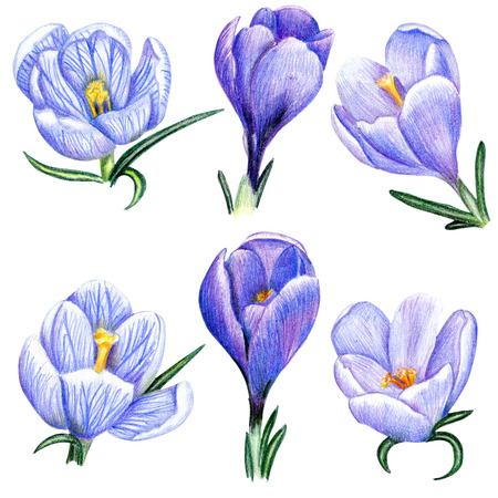 Beautiful penciled lilac crocus flowers Stock Photo