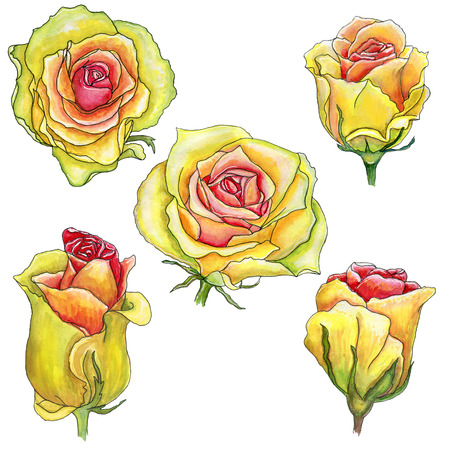 Scrap set of yellow pink watercolor roses with a stroke  isolated on white