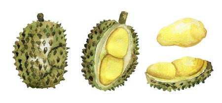 Hand drawn durian set Imagens