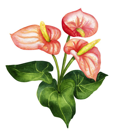 Watercolor bright blossom anthurium isolated on white Stock Photo