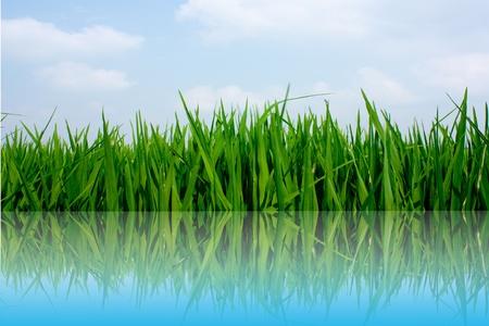 Rice plant under blue photo