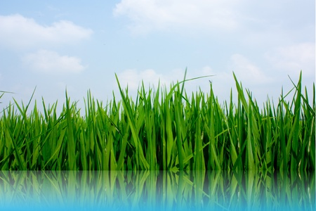 Rice plant on water photo