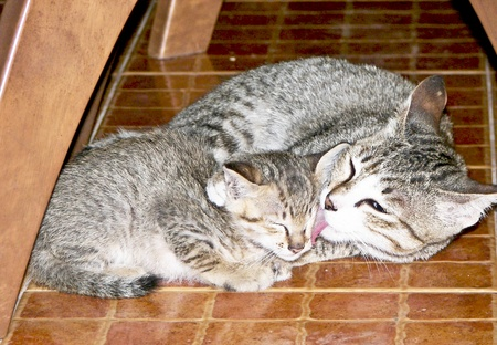 lick: Mother cat cleanning her son
