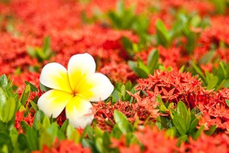 leelawadee: Loss Leelawadee on blur red flower