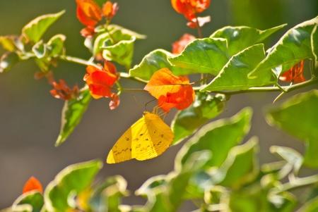 eyespot: Yellow butterfly