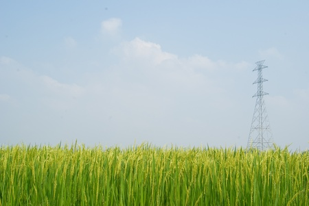 Rice plant field and raw high voltage tower photo