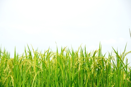 Thai rice Mali in plant Shacherngsao province Thailand Stock Photo