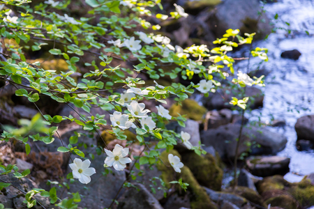 dogwood tree: Dogwood tree with flowers near the river in spring time