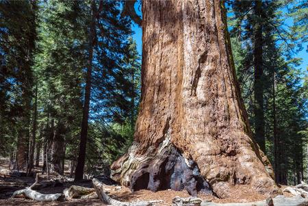 sequoia: Sequoia Tree in Sequoia National Park, California