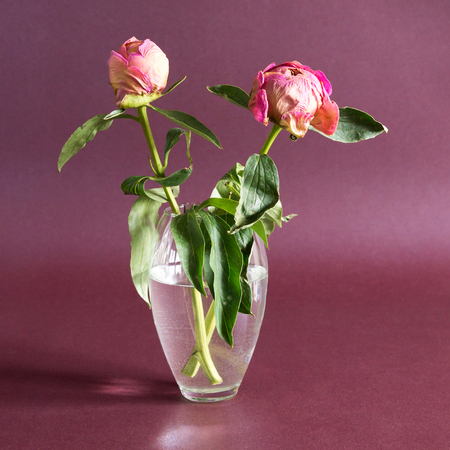 recollection: two dried peony flower in a vase on a purple  background