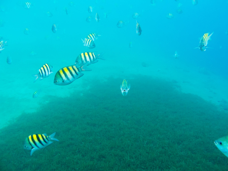 major: Sergeant Major Fishes underwater