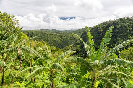 lucia: banana trees on the plantation