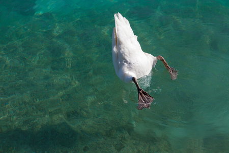 into: swan dived into the water
