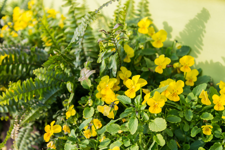 day flowering: flowering yellow pansies in the garden in sunny day