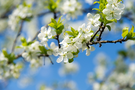 branch of blossoming cherry tree in spring