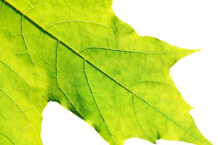 close up of green fresh leaf isolated on white background Stock Photo