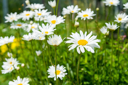 daisys: chamomile flowers on a sunny summer day. Blooming daisies Stock Photo