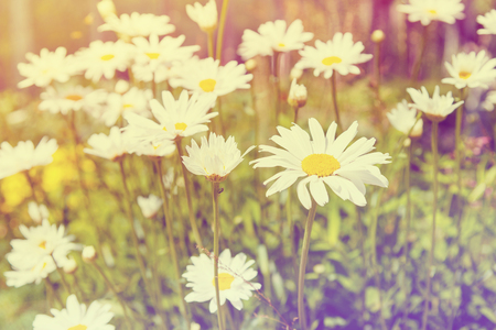 daisys: chamomile flowers on a sunny summer day. Blooming daisies. Toned pastel effect