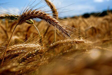 wheat blue sky field brown toning effect. Ears of wheat field fluttering in the wind. wheat blurred landscape. Stock fotó
