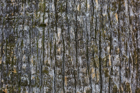 pine tree bark old texture, background