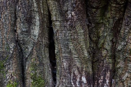 Tree bark old texture, horizontal background with moss