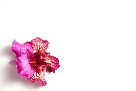 streptocarpus flower on a white background with place for text Banco de Imagens