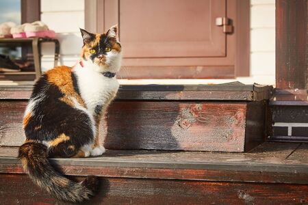 tricolor cat sits on the steps of the house in the sun