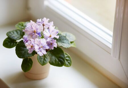 White motley flowers of Saintpaulia, commonly known as African violets. Parma violets. Flower pot on the window