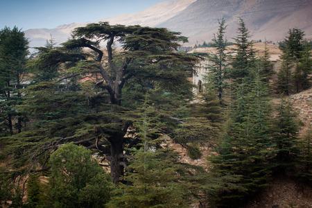 cedars: Cedar forest in Bsharri, Lebanon. Stock Photo