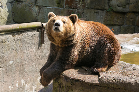 Big brown bear in Kaliningrad Zoo. Russia.