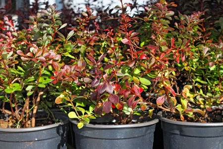 Decorative berberis in a pots.
