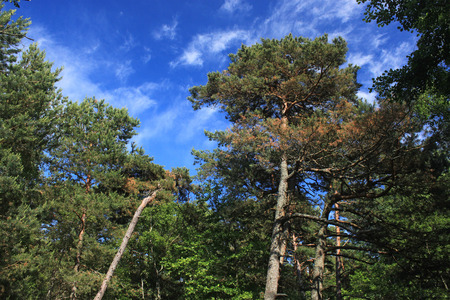 spit: The tops of the pines in coniferous forest. National park Curonian Spit, Russia.