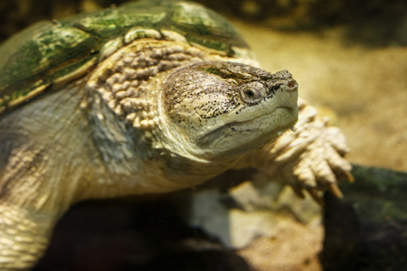 Common snapping turtle (Chelydra serpentina) in the oceanarium. Imagens - 96141067