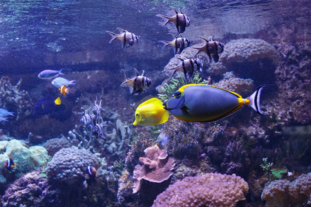 Barcheek unicornfish (Naso lituratus) with other fishes in the oceanarium.