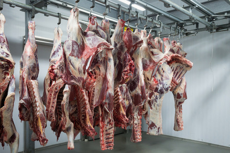 Freshly slaughtered halves of cattle hanging on the hooks in a refrigerator room of a meat plant for further food processing. Reklamní fotografie